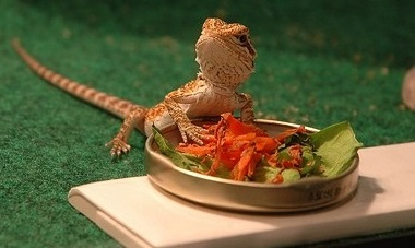 Best 7 foods for Bearded Dragons