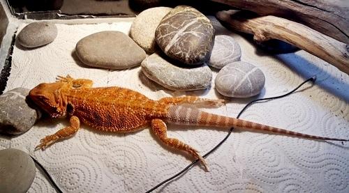Bearded dragon no UVB symptoms