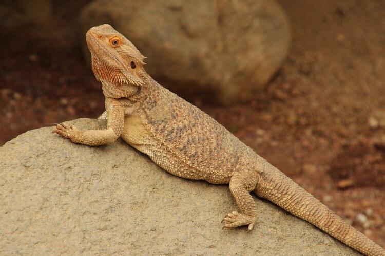 Bearded-Dragon-pic