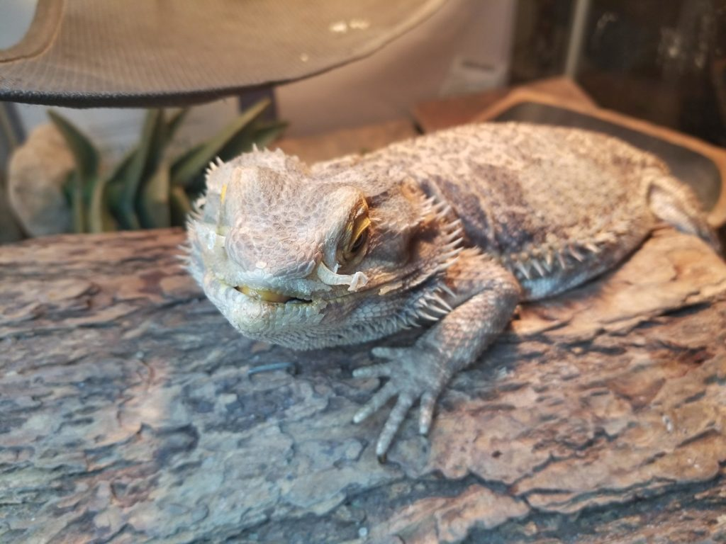 Bearded Dragons Shed