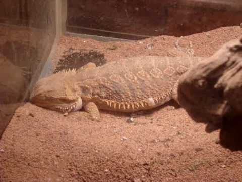 bearded dragons dig