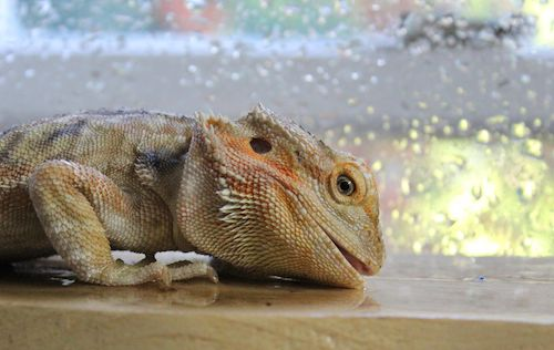 bearded dragons hydrate