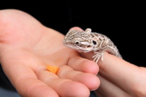 Bearded-Dragon-Vegetables-and-Fruit-By-Hand
