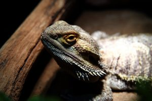 Bearded Dragons Drink