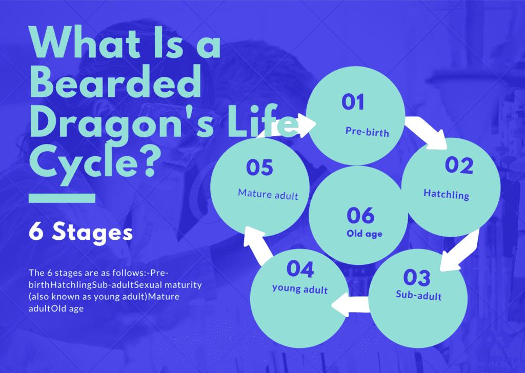 Bearded Dragon's Life Cycle