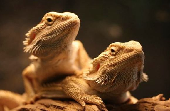 Bearded Dragons Together