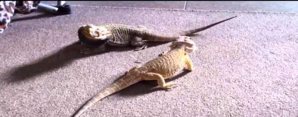 Bearded Dragons two