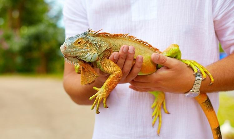 Iguana-Handling