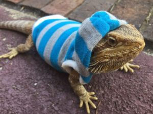 What if Bearded Dragon Gets Too Cold
