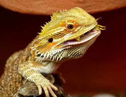 bearded-dragon-eat