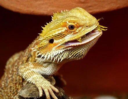 bearded-dragon-eat