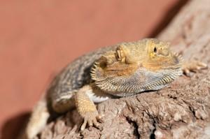 bearded-dragon-laying