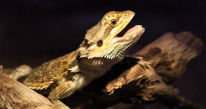 bearded-dragon-mouth-open