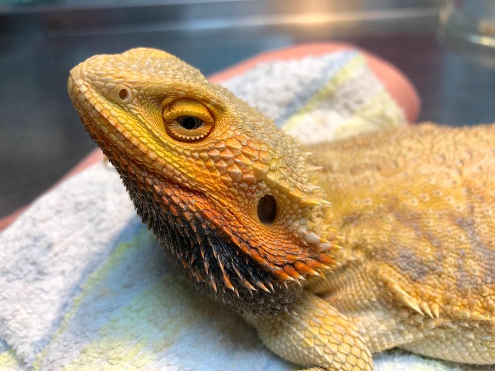 bearded-dragon-sick