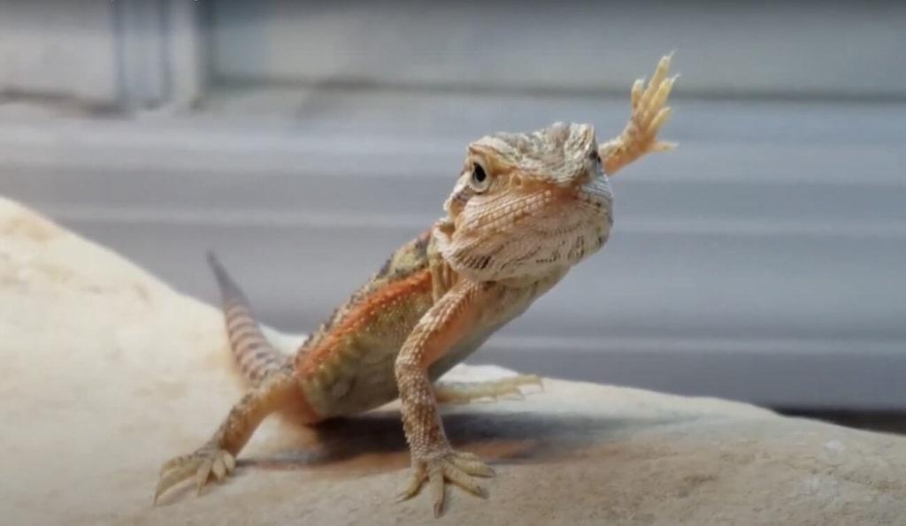 bearded-dragon-waving