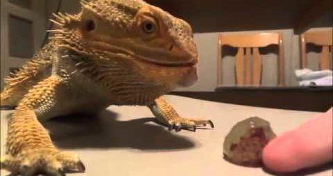 bearded dragons eat