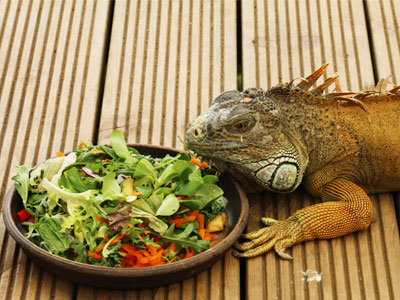 iguana-food