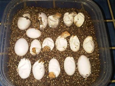 take Care of Bearded Dragon Eggs?