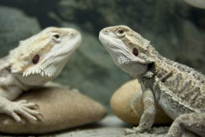two-bearded-dragons