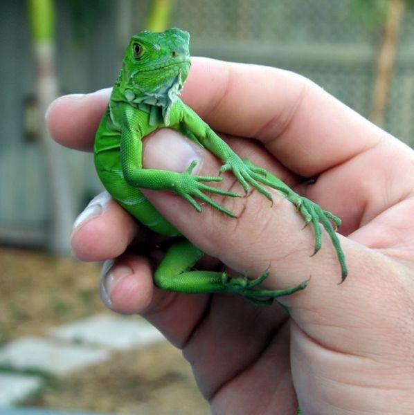 Baby Green iguana caring