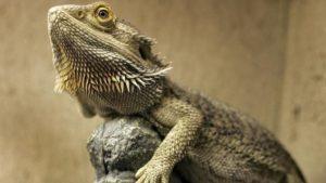 Basking-Bearded-Dragons