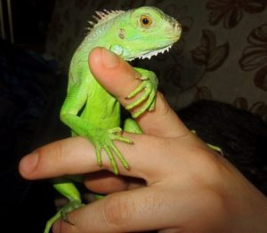 How-To-Bond-With-Your-Iguana-and-Tame-It-Rules-and-Tips