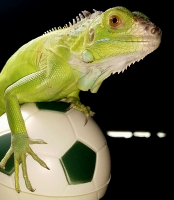 How-To-Play-With-an-Iguana-and-Toys-For-Pet-Iguana