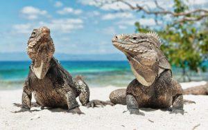Iguana in Pairs