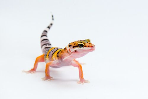 Leopard Gecko Turning Brown