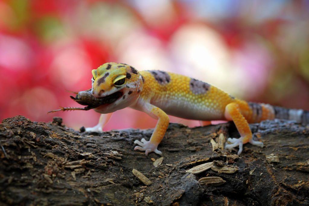 Leopard Geckos Eat