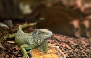 Substrate-for-Iguanas