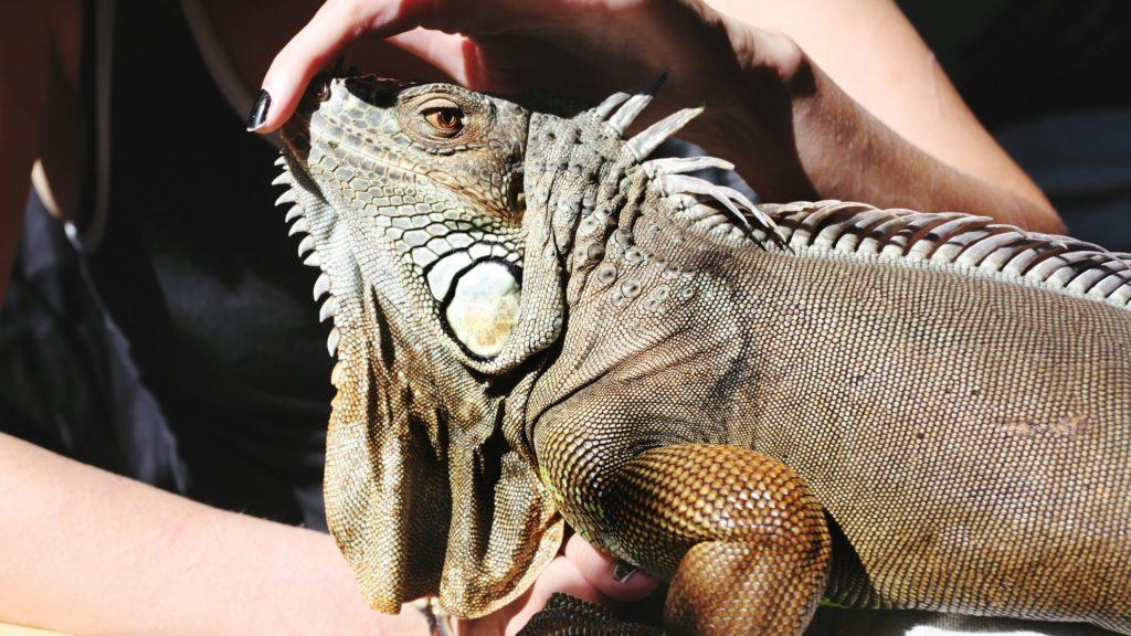 Tame your Iguana