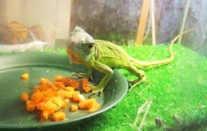 The Right Way to Maintain a Iguana