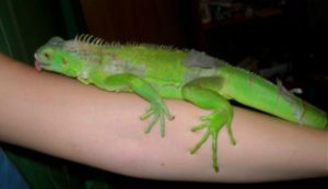 What-Does-It-Mean-When-Iguana-Licks-You