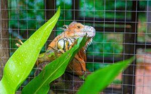 best-iguana-cage-care