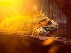iguana-heating-lighting