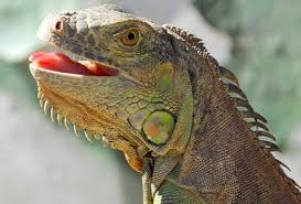 iguana is stressed