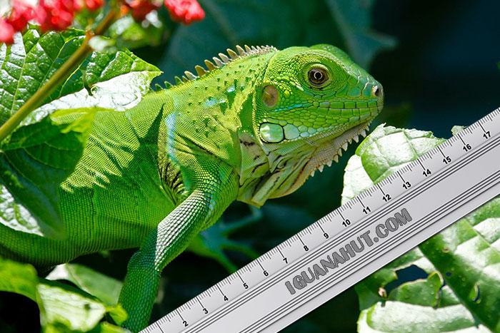 iguana-size-growth-chart