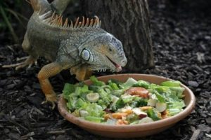 iguana_eating_food