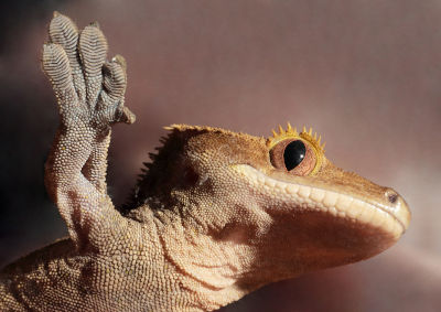 eopard gecko
