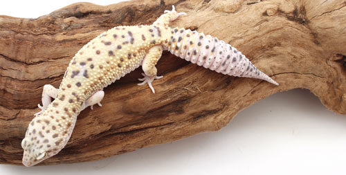 leopard-geckofattail