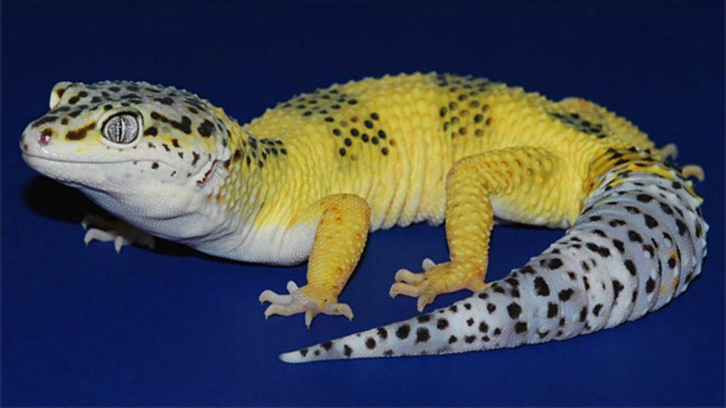 leopard geckos morph