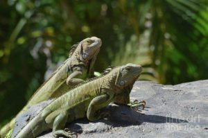 two-green-iguanas