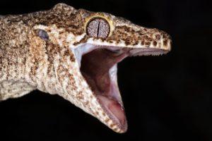 Aggressive leopard gecko
