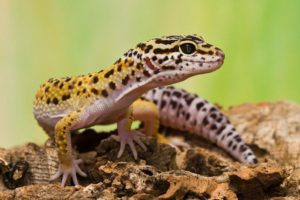 Buying Guide Your First Leopard Gecko