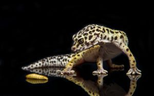 Buying Your First Leopard Gecko