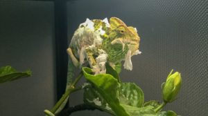 Chameleon-Shedding