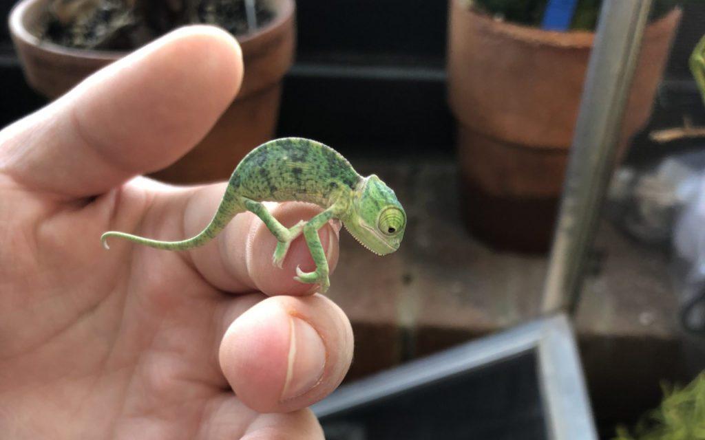 Chameleon_Babies