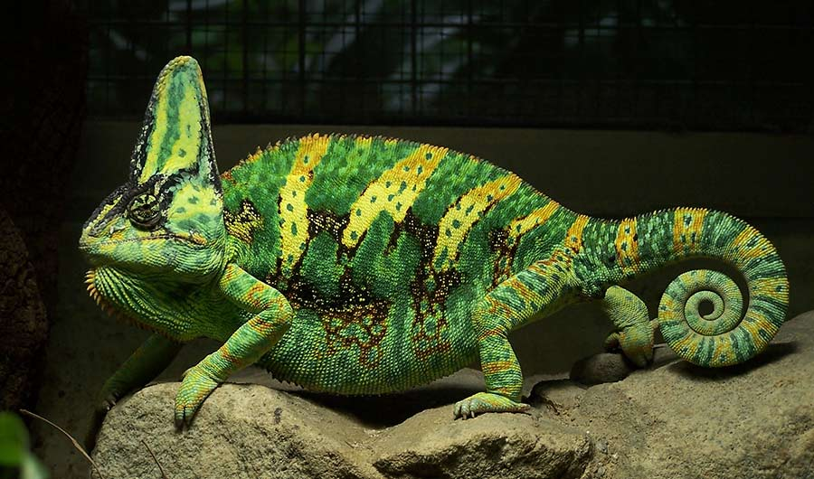 Chameleon_aggressive