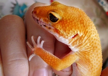 How-To-Tame-a-Leopard-Gecko-Tips